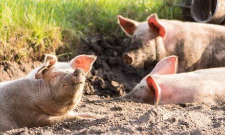 Cada año una persona vegana salva a 105 animales, según un estudio